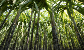 Sugar: the next ingredient readied to come under fire for its climate effect?