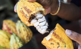 Cabosse Naturals speaks cocoa fruit innovation: 'Upcycled foods are really relevant for customers'