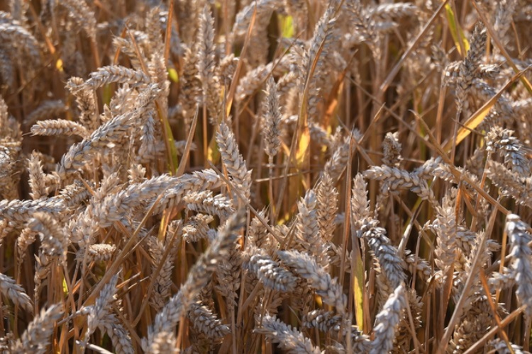 Read more about the article 'Out of control' durum wheat market expected to trigger pasta scarcity